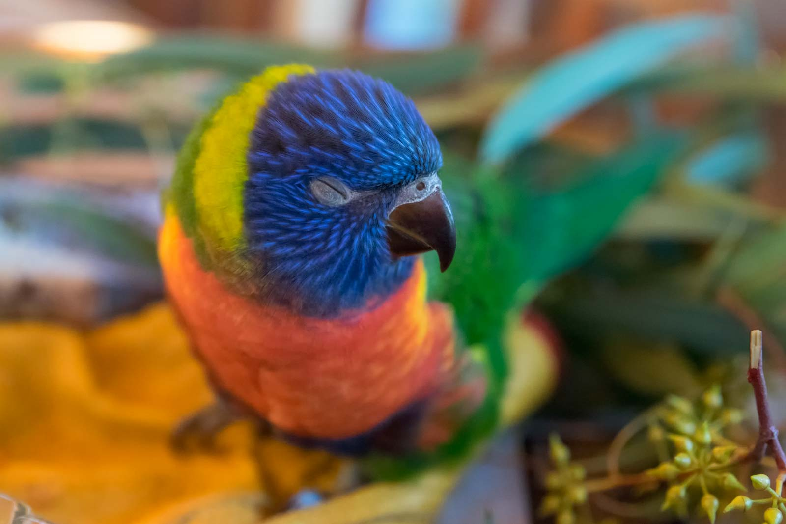 A seven week old rainbow lorikeet naps on a table in its cage.