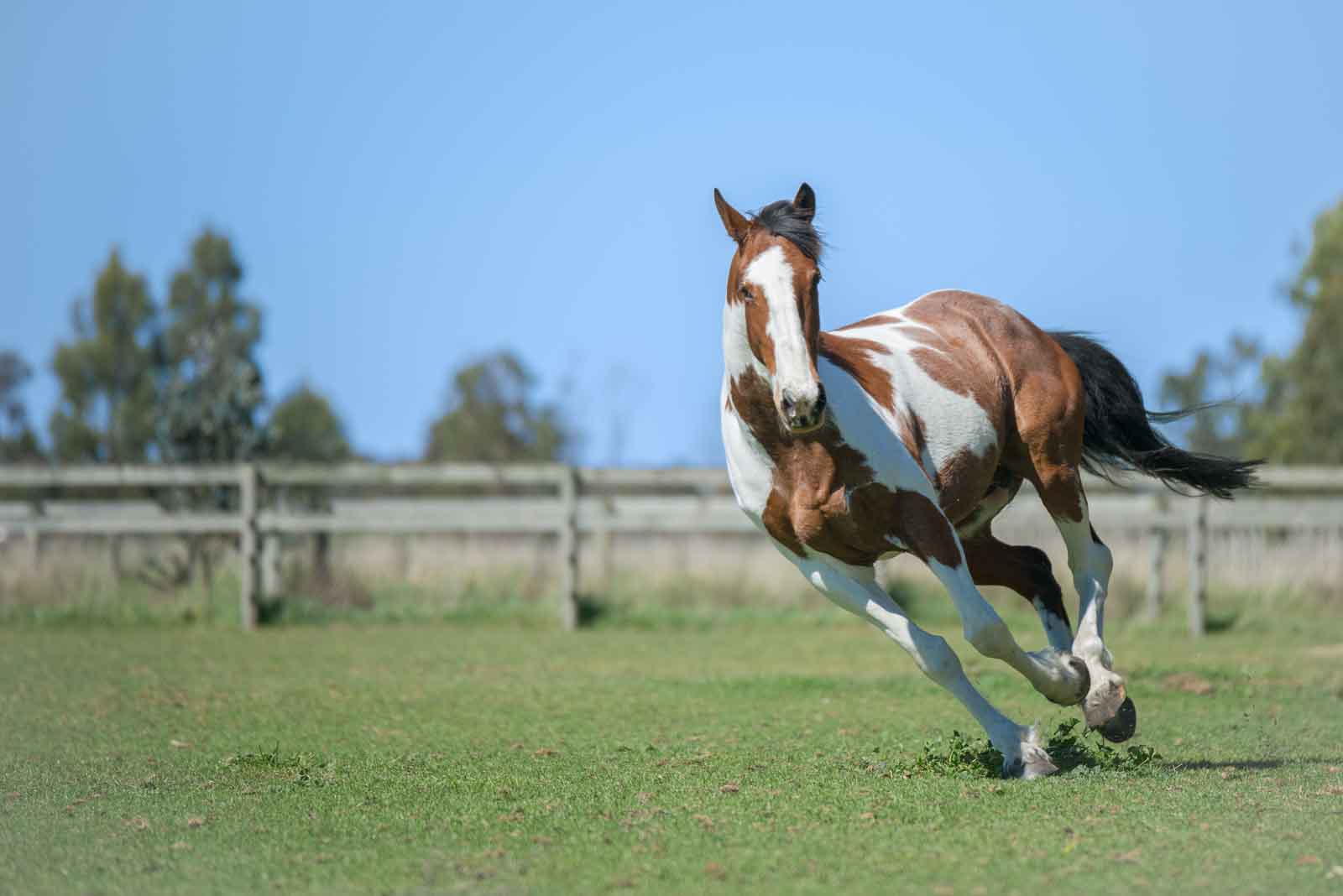 A lovely horse named Chip gallops across a field.