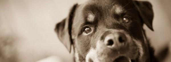 Kingston the Kissable Rottweiler