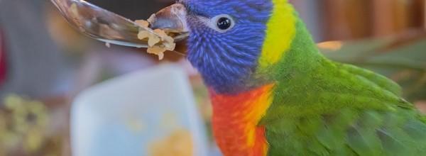 Meet Pom-Pom – The Rainbow Lorikeet!
